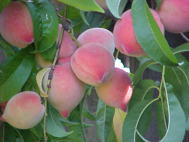 White_peach_in_june
