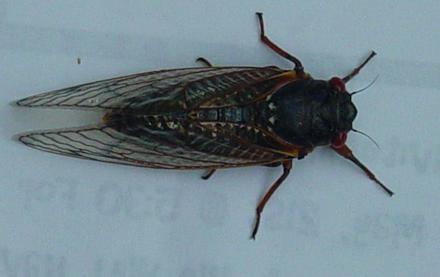 Cicadatop